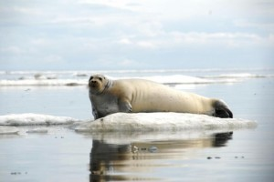 A Bearded seal rests on ice off coast of Alaska (June 21 2011 John Jansen NOAA's Alaska Fisheries Science Center)