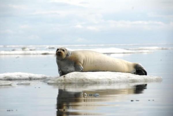 A Bearded seal rests on ice off coast of Alaska (June 21 2011 John Jansen NOAA's Alaska Fisheries Science Center)