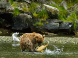 Bear catching fish Alaska News Nightly