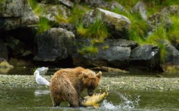 Bear catching fish Alaska News Nightly