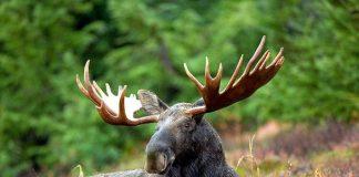 2016_moose_wildlife