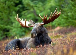 2016_moose_wildlife