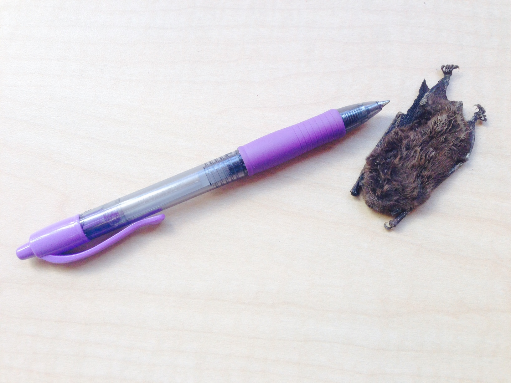 The carcass of this small brown bat compared to a pen. Alive they weigh between 5-7 grams. (Photo by Angela Denning, KFSK - Petersburg)