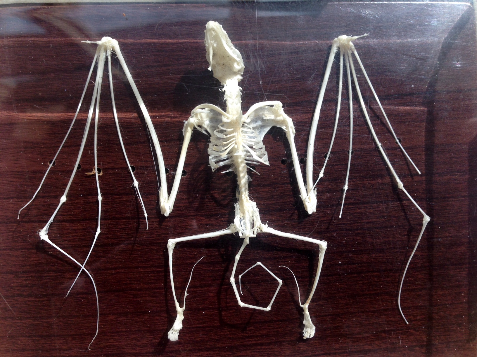 This bat skeleton shows that the fingers of a bat make up most of its wings. (Photo by Angela Denning, KFSK - Petersburg)