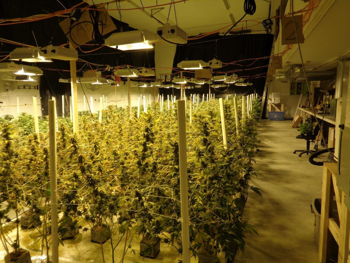 Marijuana plants seized from Gabryzak's rented building (Photo courtesy of the Homer Police Department)