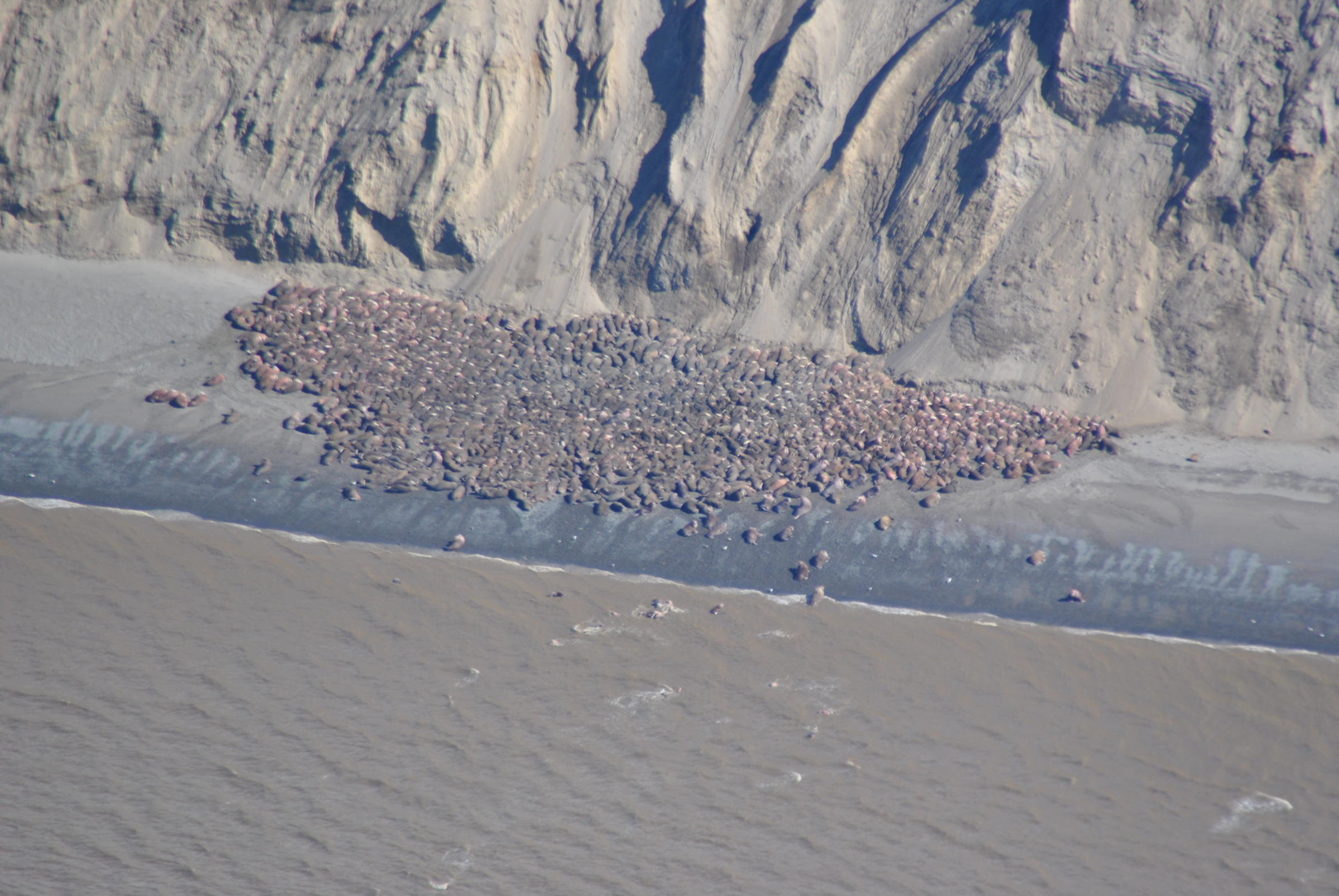 These walruses are hauled out at Cape Grieg, a spot in between Egegik and Ugashik on the Alaska Peninsula. This appears to be a new haul out spot, and biologist aren't sure why it was picked or how long the walruses will stick around. (Photo courtesy of USFWS)