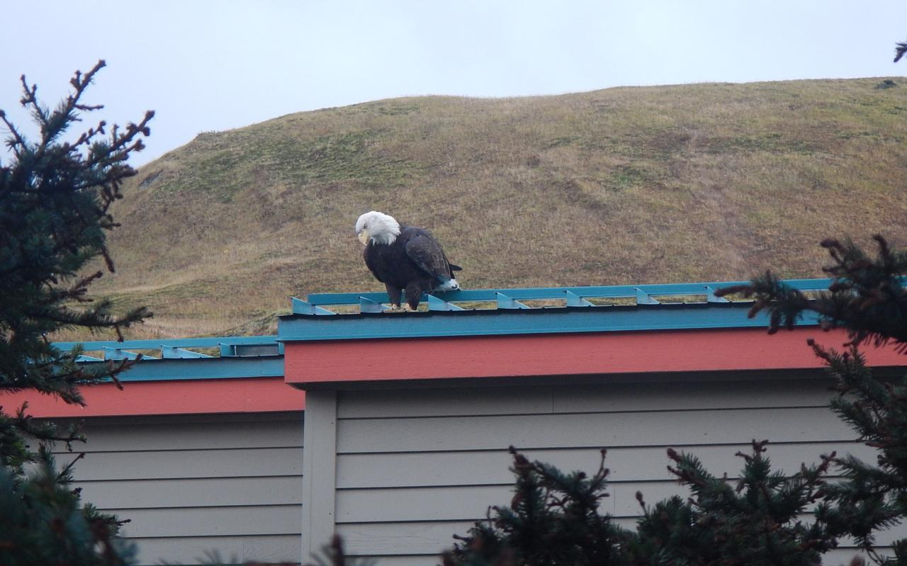 A bald eagle on the roof of the PCR. (Photo courtesy of John Ryan)