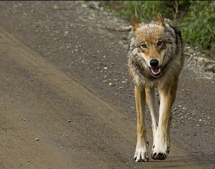Denali wolf Photo courtesy of National Park service)