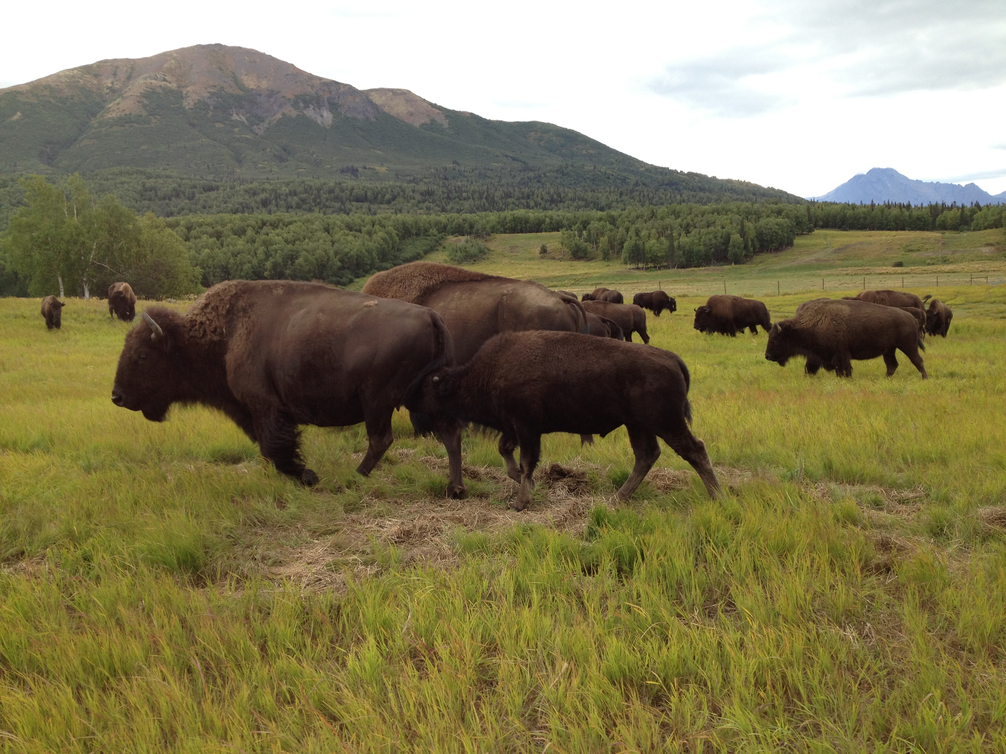 Some of Pettit's bison grazing on ranchland near Palmer (Photo by Ellen Lockyer, Alaska Public Media - Anchorage)