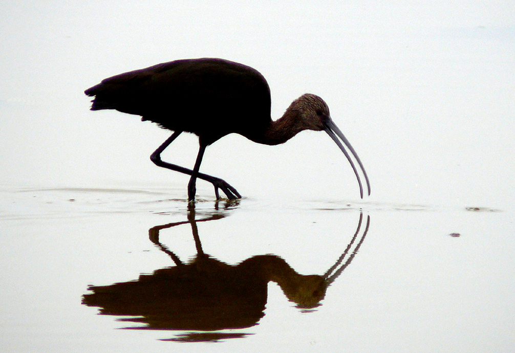A white-faced ibis. (Courtesy of Flickr creative commons user docentjoyce)