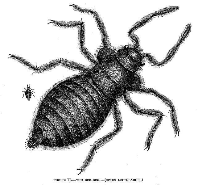 The dreaded bed bug. (Drawing courtesy of Wikimedia Commons)