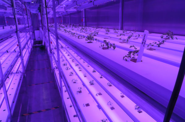 The first crop of seedlings sprouts inside the growing room of the Arctic Greens connex. The automated storage container will deliver 450 heads of locally grown produce each week. (Photo by Laura Kraegel, KNOM - Nome)