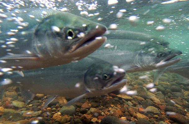 Chum salmon migration. (Photo courtesy of USFWS/Togiak National Wildlife Refuge)