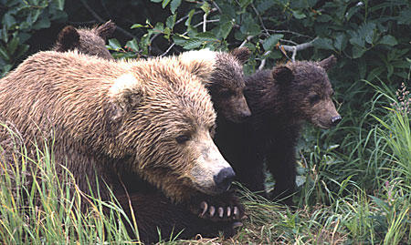 More than 200 brown bears were harvested in the Bristol Bay region this spring, according to preliminary numbers from ADF&G. (Photo courtesy of National Park Service)