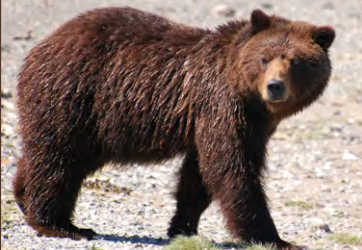 A charging brown bear was killed near Sitka last month. This is not the bear that was shot in Sitka. (Photo from Alaska Department of Fish and Game)
