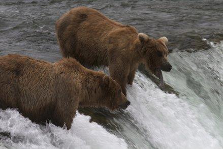 Screenshot of the Katmai Bear cam footage (Image courtesy of Explore.org)