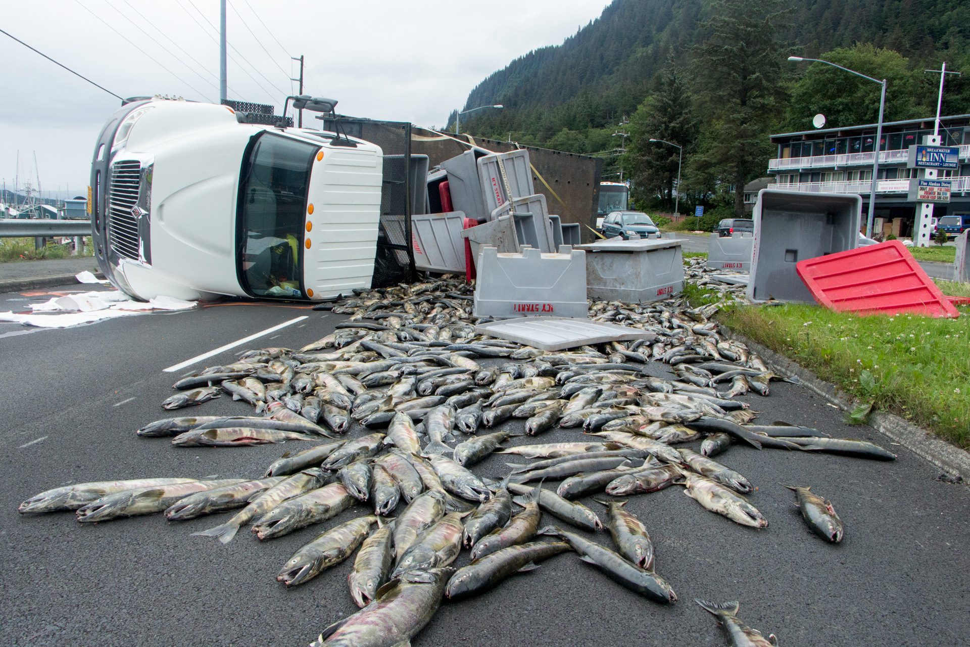 16,000lbs of salmon spill from a rolled truck on Egan Drive on July 25th, 2016. (Photo by Mikko Wilson, KTOO - Juneau)