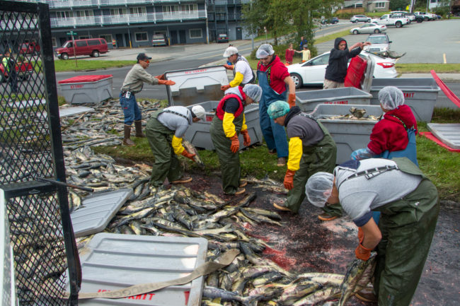 Crews load salmon back into fish totes after a tuck rollover on Egan Drive on July 25th, 2016. (Photo by Mikko Wilson, KTOO - Juneau)
