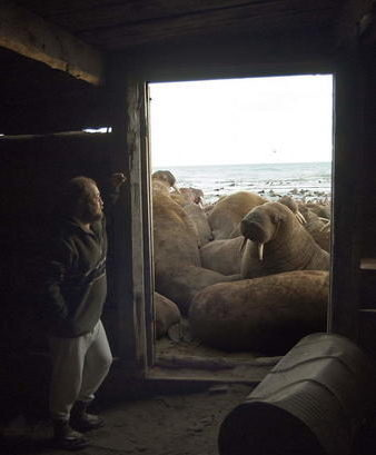 Anatoly Kochnev observes a large walrus haulout near Cape SerdtseKamen'. (Photo by Anatoly Kochnev/Russian Academy of Sciences.)