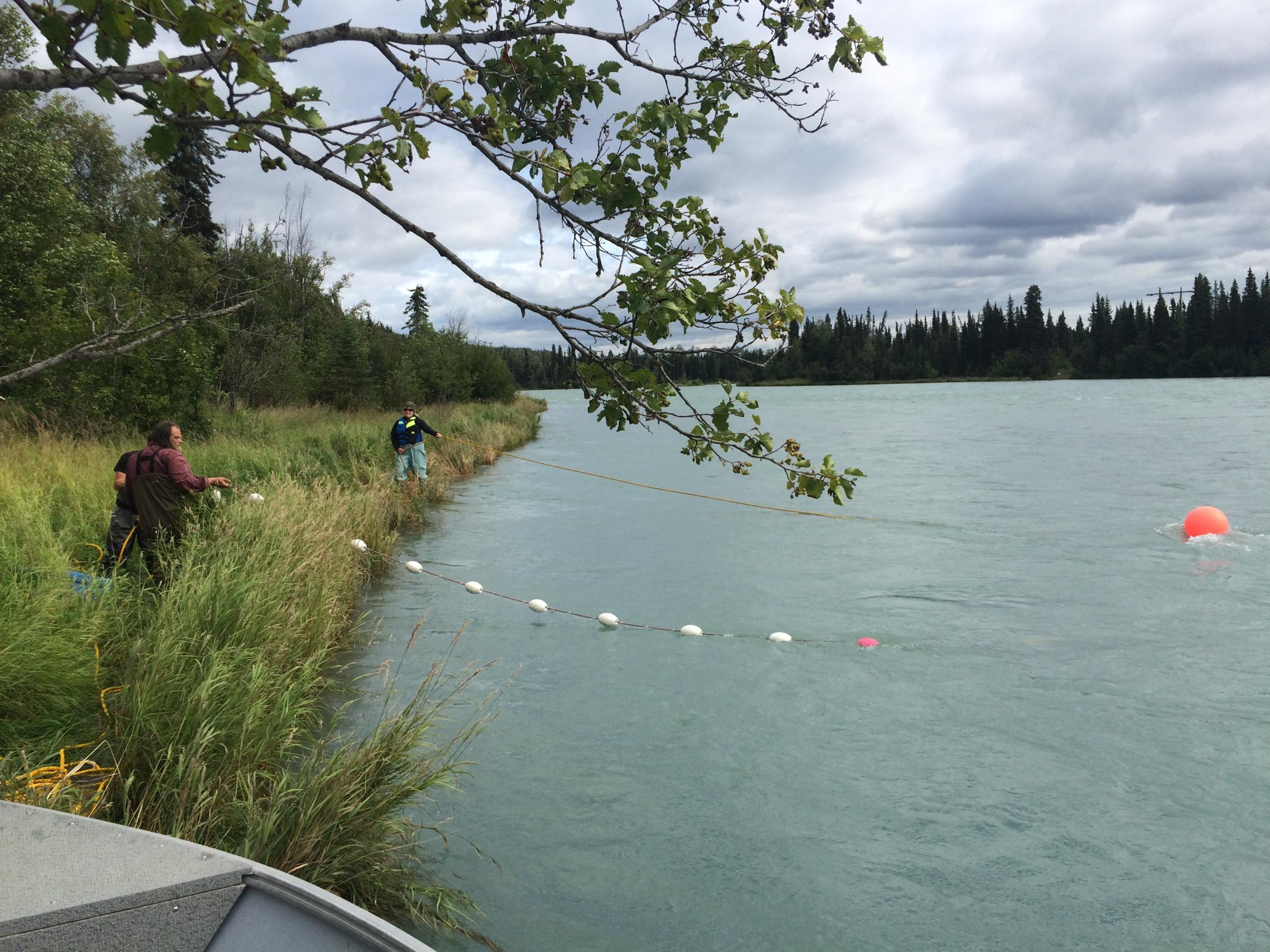 The NTC crew sets the tribe's gill net on the Kenai River in the Moose Meadows Range area on Saturday, July 30. (Photo by Daysha Eaton, KBBI - Homer)