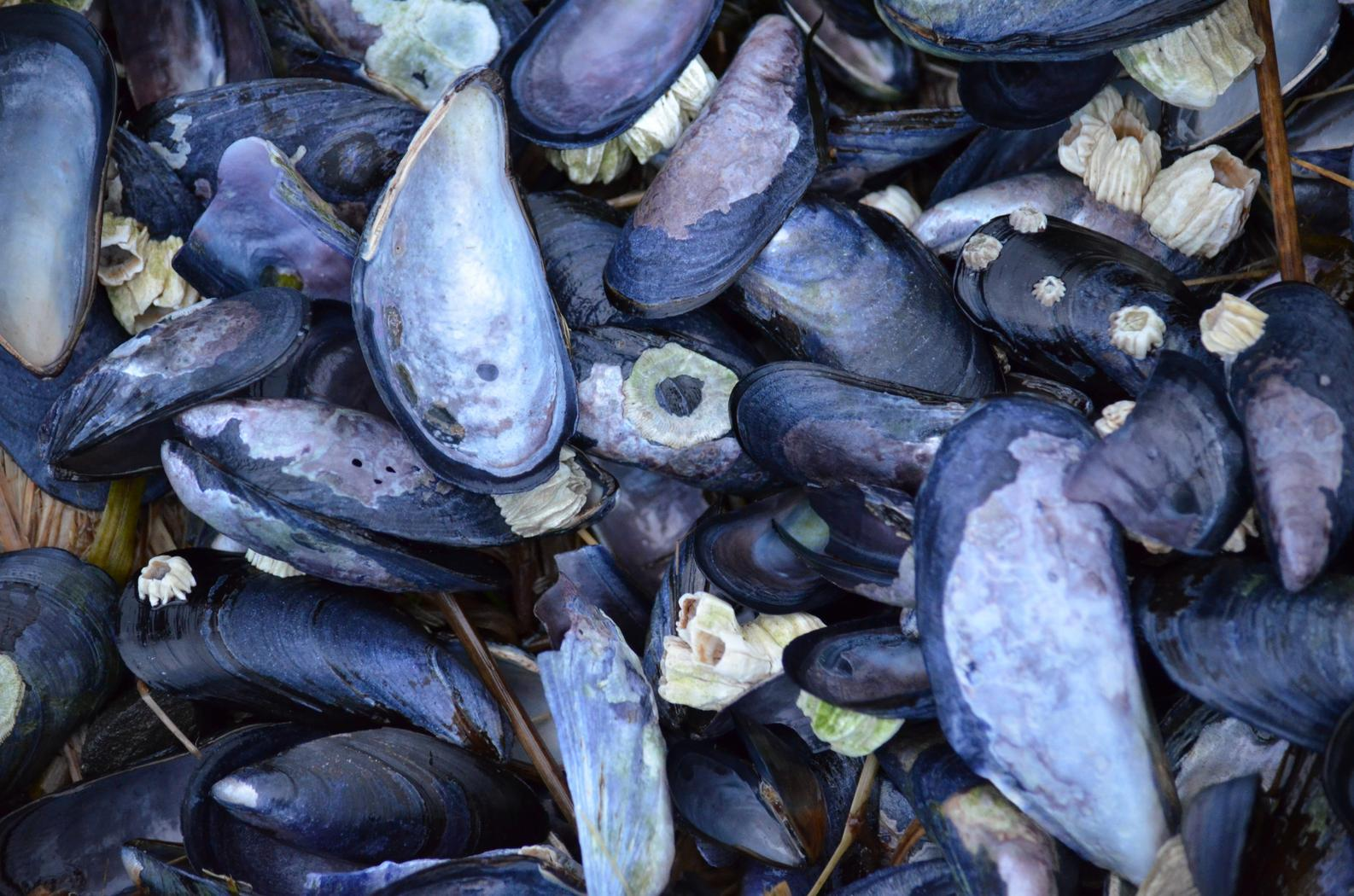 Blue mussels. (Credit Photo by Kathy Kartchner)