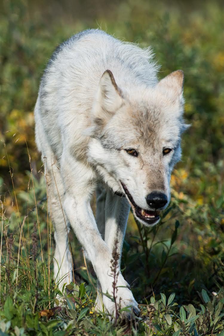Denali wolf (Photo by Kent Miller, Denali National Park)