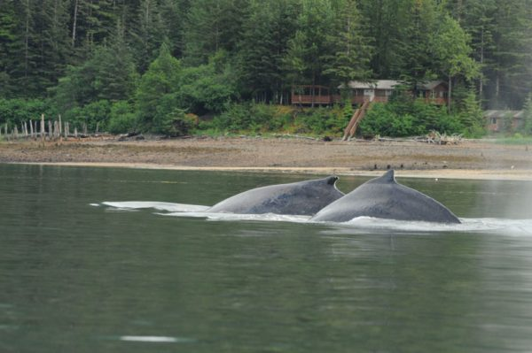 Two humpback whales near Juneau Saturday, June 4, 2016. (Public Domain photo by NOAA Fisheries)