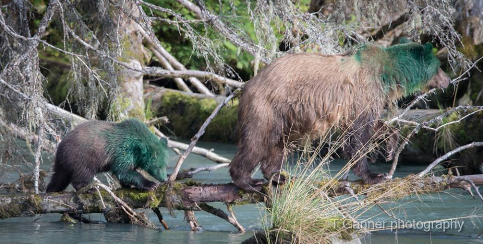 A sow and her cub showed up at the Chilkoot River on Wednesday doused in what appears to be green paint. Biologists are trying to figure out what happened. (Tom Ganner/T. Ganner Photography -Time & Space)
