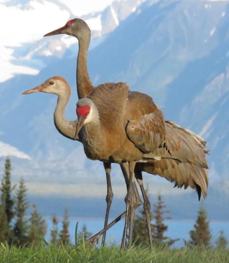 Lesser sandhill cranes in Homer, Alaska. (Photo courtesy of Nina Faust)