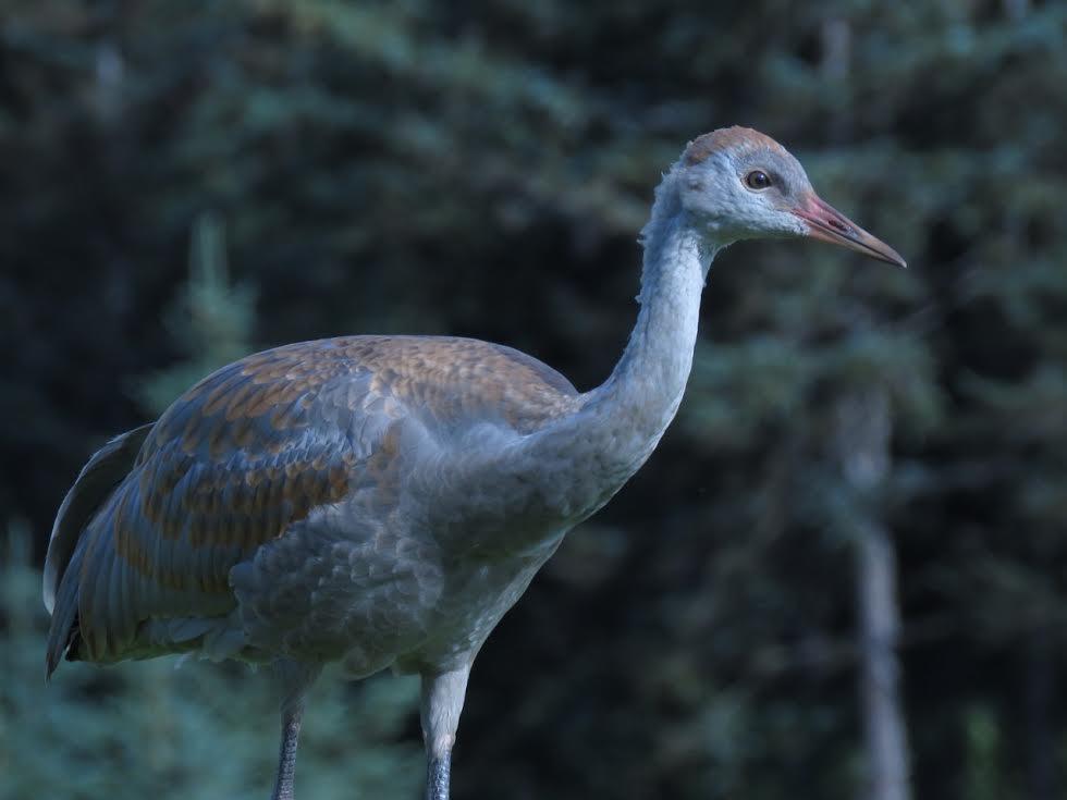 "A juvenile lesser sandhill crane (""colt"") in Homer, Alaska. (Photo courtesy of Nina Faust)"