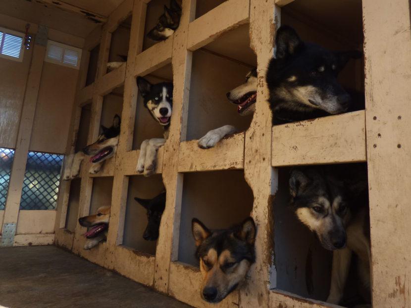In the winter, Denali's sled dogs ferry park employees through areas closed to motorized vehicles. (Zoë Sobel, Alaska Energy Desk - Unalaska)