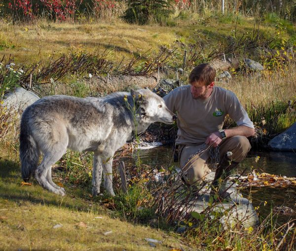 Zookeeper Tim Lescher pets Ruby, a gray wolf, during a wolf walk at the Alaska Zoo. (Photo: Zachariah Hughes, Alaska Public Media - Anchorage)