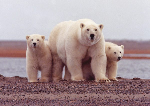 A polar bear mother watches carefully with her cubs along her side as their picture is taken, March 6, 2007. (Photo credit: USFWS)