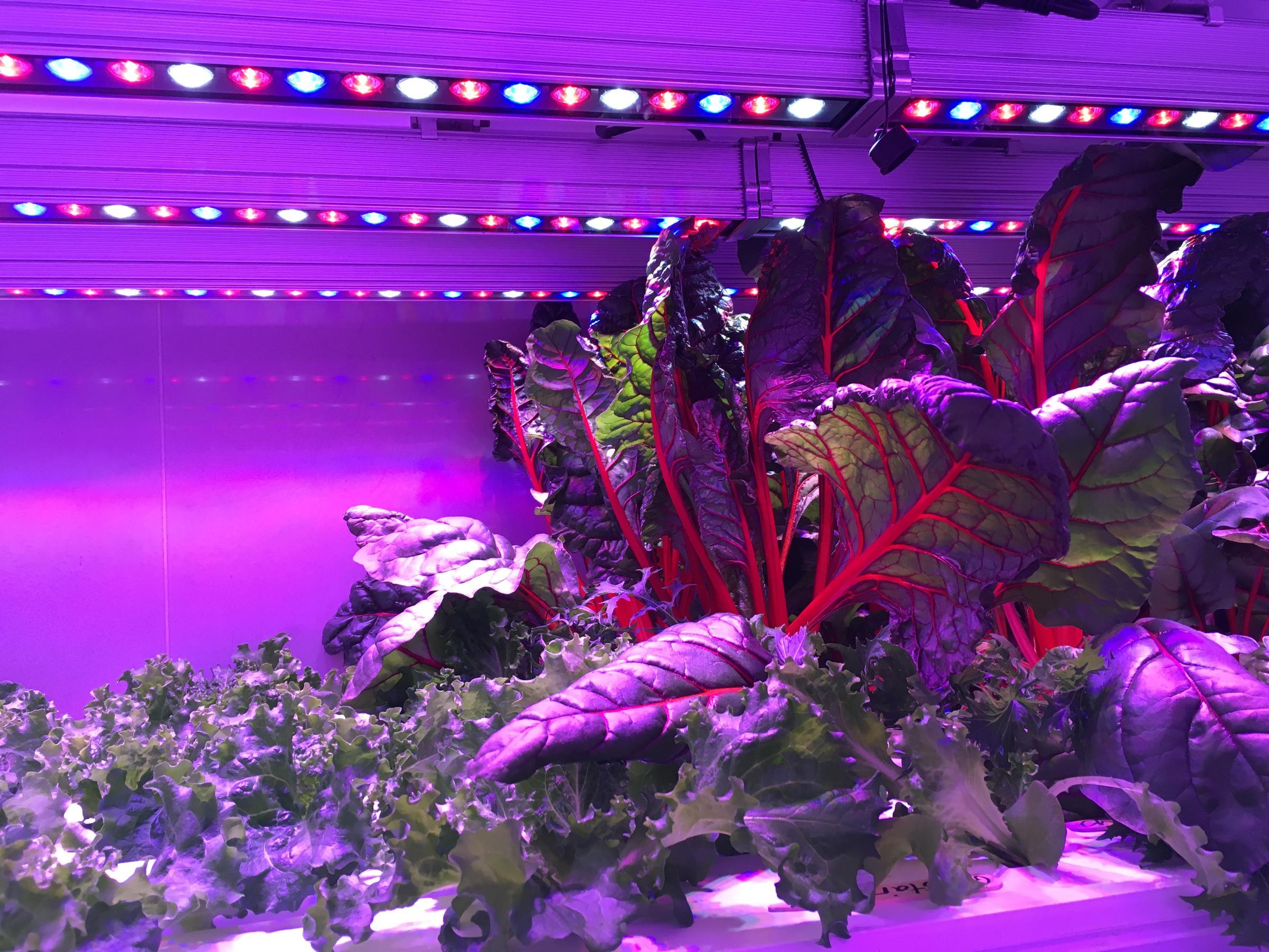 Various produce inside Kyle Belleque's hydroponic farm (Photo by KDLG)
