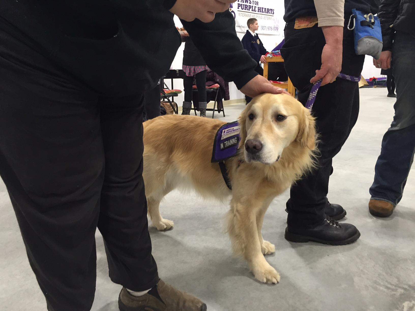 A Paws For Purple Hearts service dog greets visitors during an open house at the group's new training center in south Fairbanks November 12th. (Dan Bross, KUAC - Fairbanks)