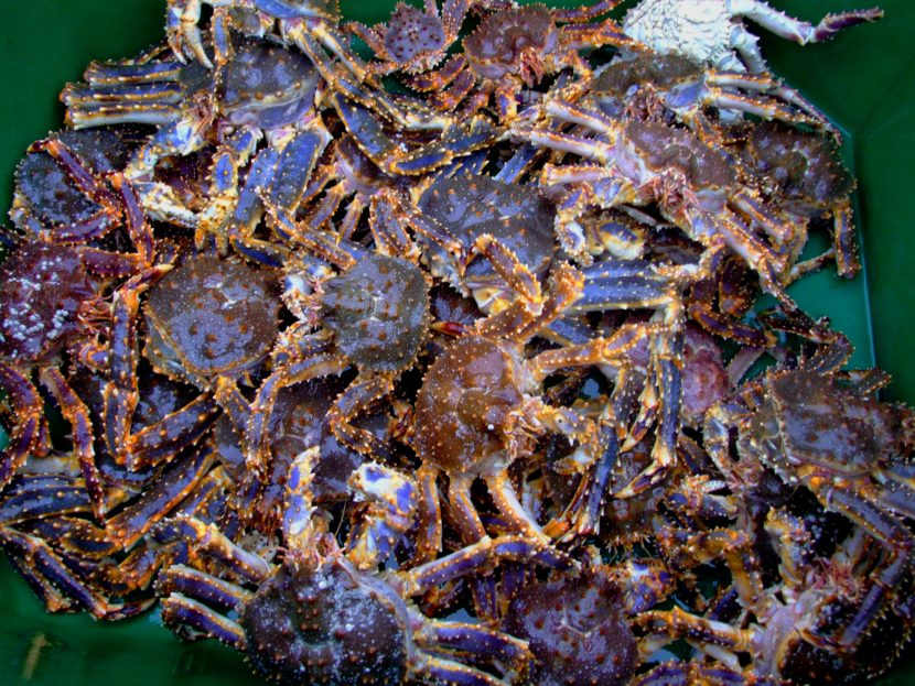 The restrictions put in place to protect blue king crab also make it difficult to do research on the species. (Photo by Celeste Leroux/Alaska Sea Grant)