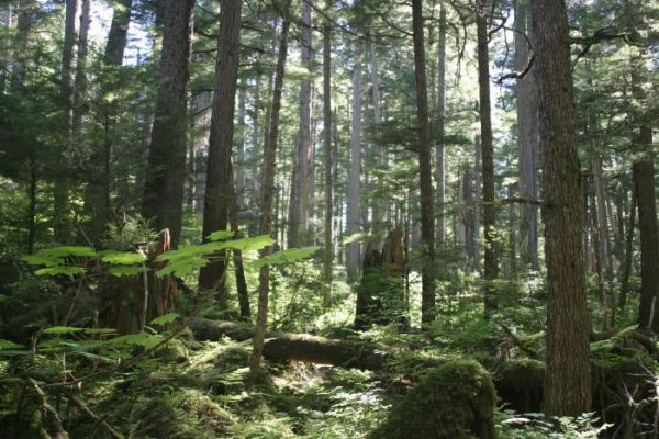 Tall sitka spruce trees seen from withing the foreset