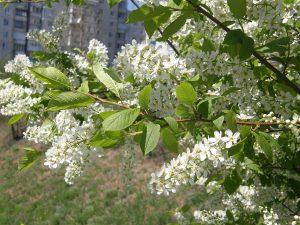 Mayday tree, european birdcherry, https://en.wikipedia.org/wiki/Prunus_padus#/media/File:Plants_in_Donetsk_120.JPG