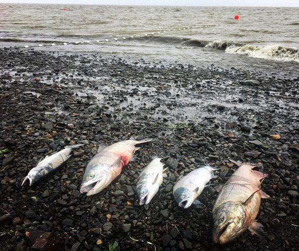 All five salmon species