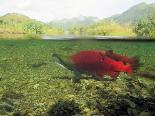 A red salmon in the water