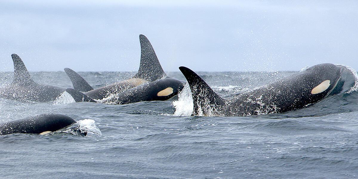 Four orcas breach