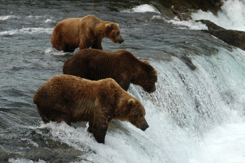 Charges pending for three Katmai visitors who approached feeding brown bears