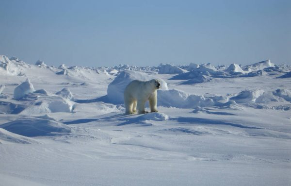 As sea ice changes in a warming Arctic, new challenges for polar bear research
