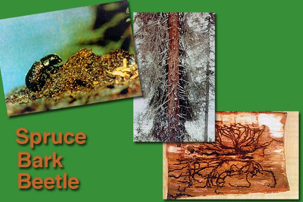 spruce bark beetle