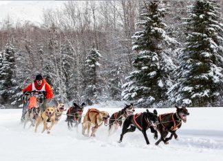 sled, sledding, dogs