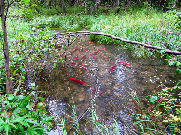 To carry out salmon habitat measure, Alaska must decide what 'significant' means
