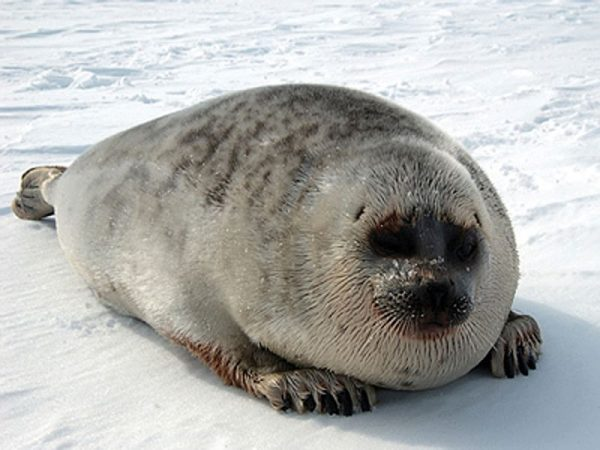 Unusually high number of seal deaths reported along the coast of the Bering and Chukchi Seas