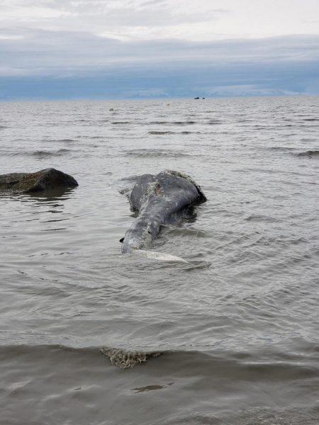 Fourth dead grey whale in Alaska washes up on Kenai Peninsula