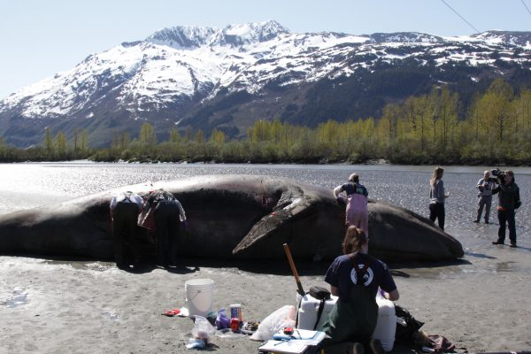 Federal researchers open formal investigation into gray whale deaths, including Alaska's
