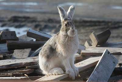 Tularemia side-effect: Hare population cycle makes pets more susceptible to predators